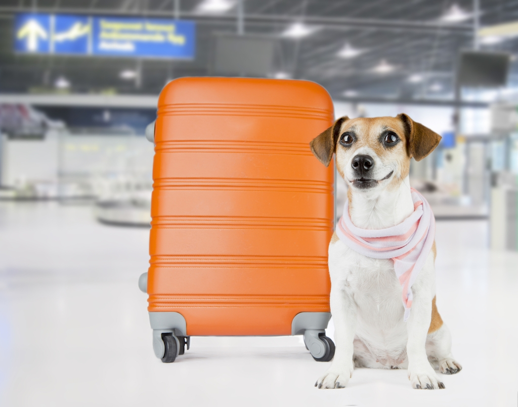 Dogs of all shapes and sizes can fly with different airlines to pet-friendly destinations all around the world. Learn how to prepare your dog for flight.