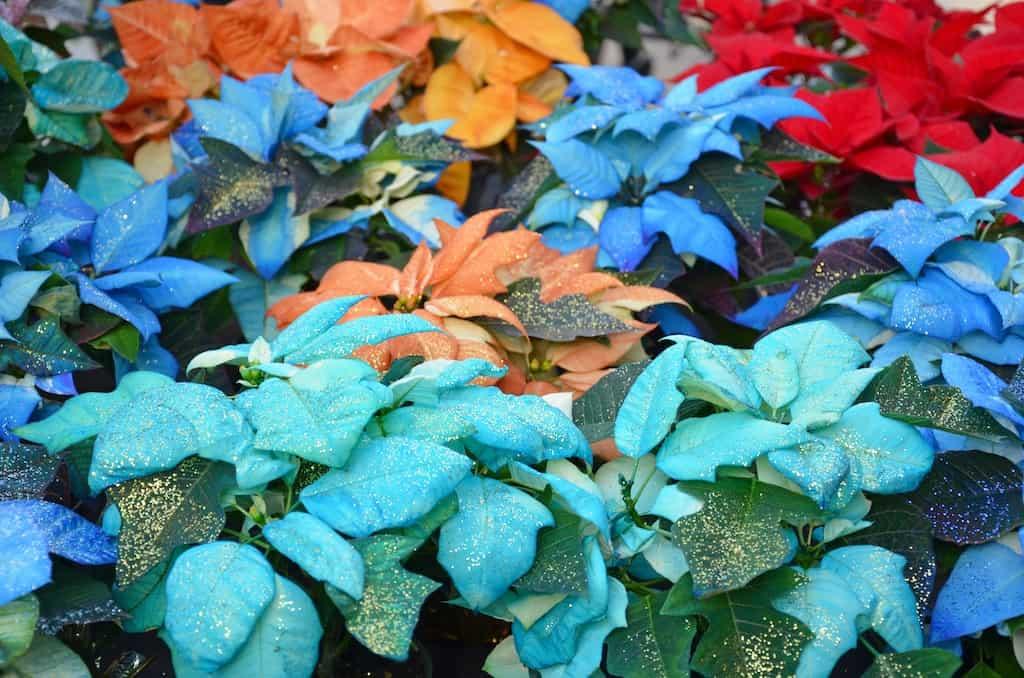 colored poinsettias