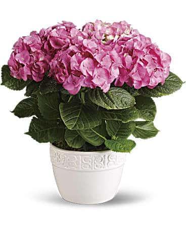 Happy Hydrangea - Pink